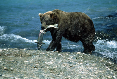 View of a brown bear carrying a salmon by a river