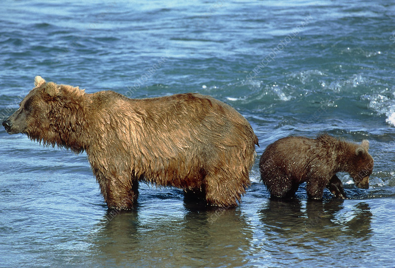 View of female brown bear with her cub in a river