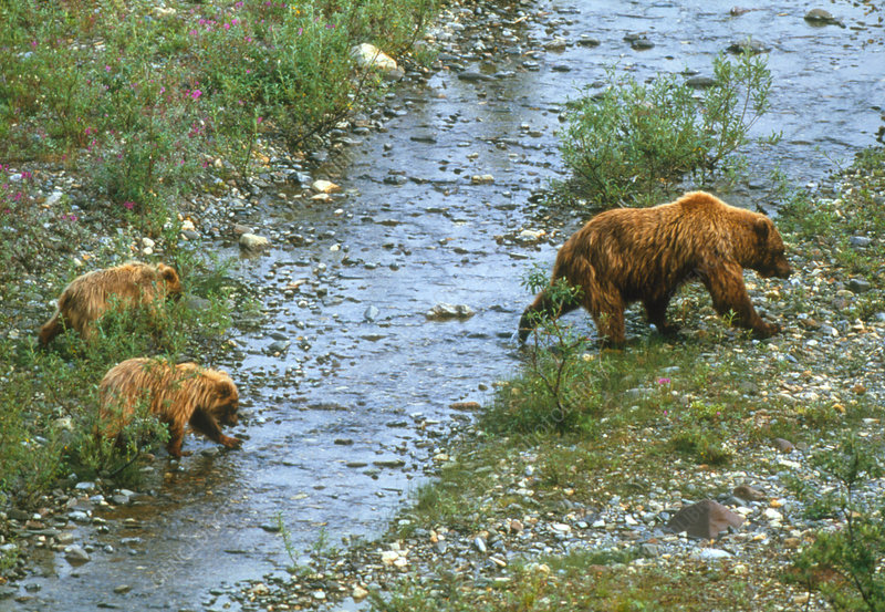 View of female brown bear with her cubs