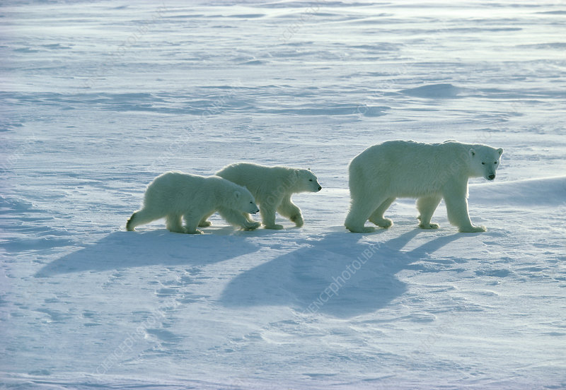 Polar bear (Ursus maritimus) with her cubs