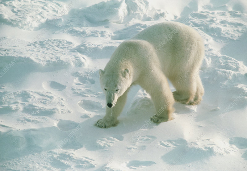 Polar bear (Ursus maritimus) walking on ice