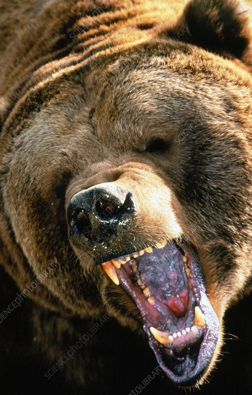 Grizzly bear (Ursus arctos horribilis) bellowing