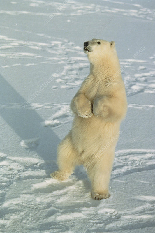 Polar bear (Ursus maritimus) standing on snow