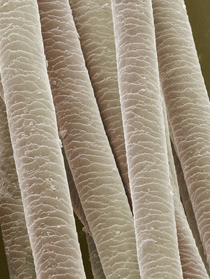 Polar bear fur microscope - photo#13