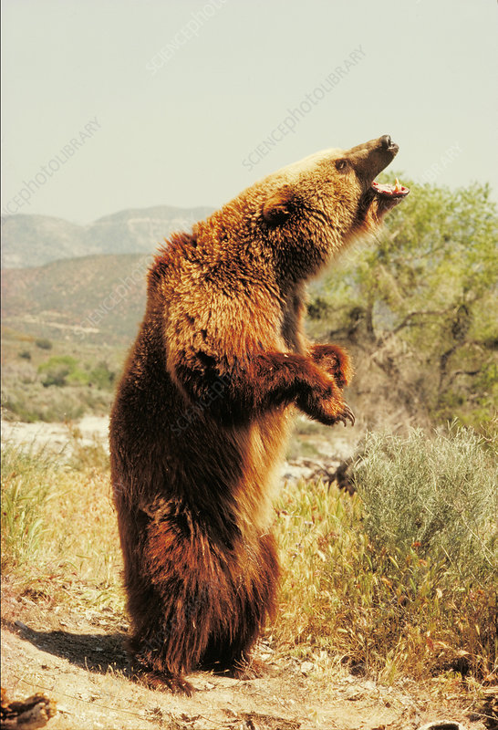 Plains grizzly