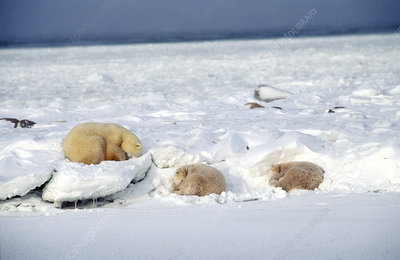 Polar Bear and Cubs Sleeping on Ice