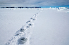 Polar bear tracks, Canada