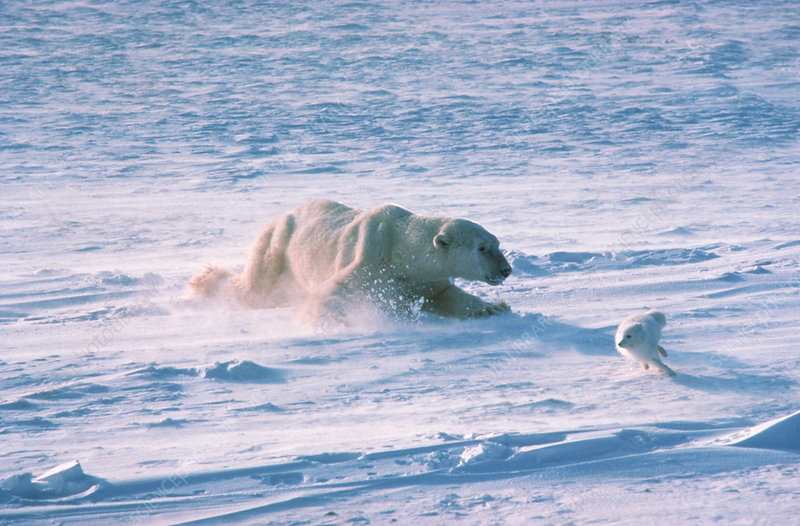 Polar Bear chasing Arctic Fox