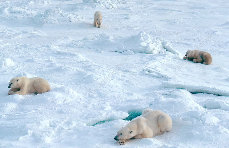 Group of lounging Polar Bears