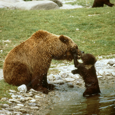 Brown Bear playing with young