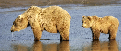 Brown bear mother and cub