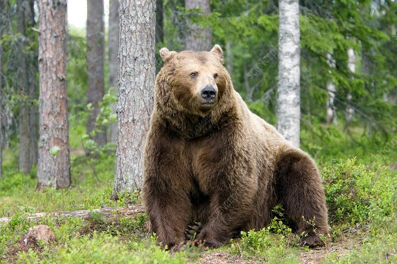 Male European brown bear
