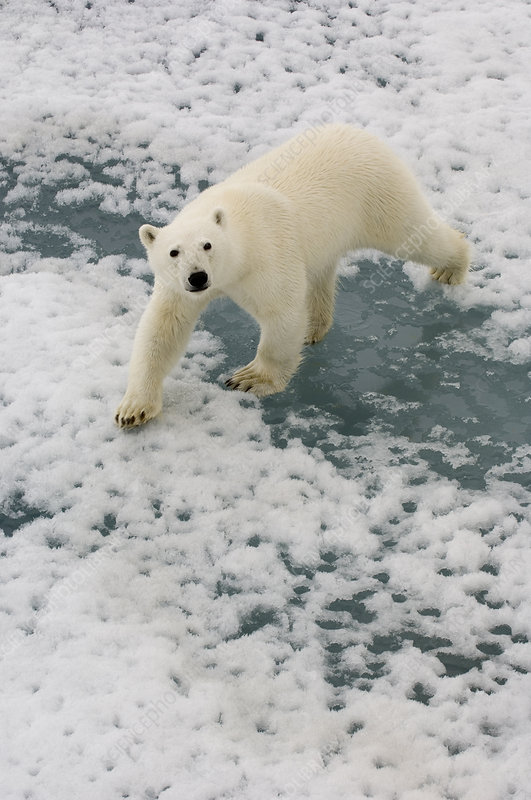 Polar Bear Crossing Ice Floe