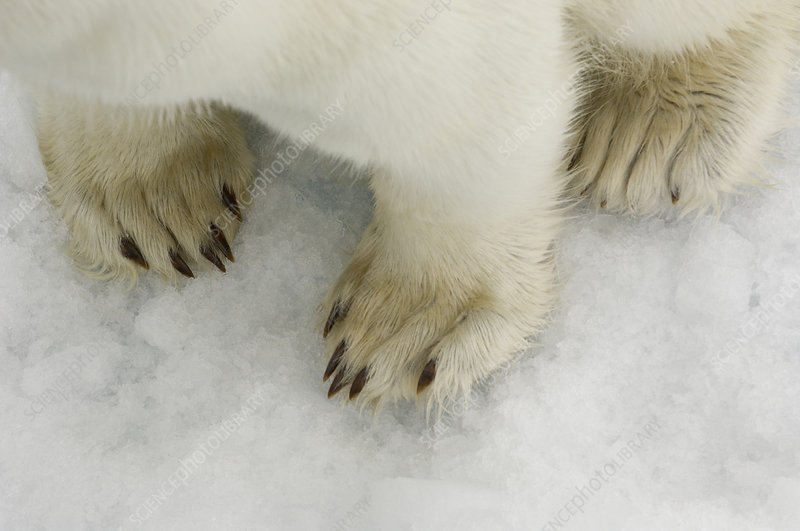 Polar Bear's Paws on Ice
