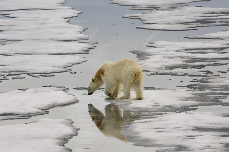 Polar Bear Walking on Ice