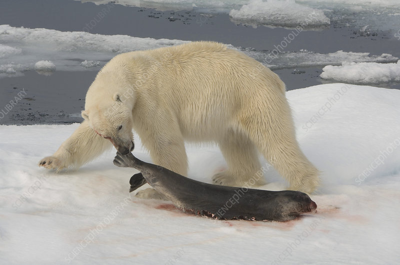 Polar Bear with Fresh Kill