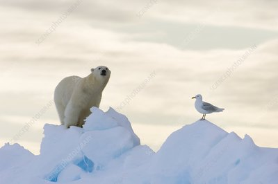 Polar bear and seagull