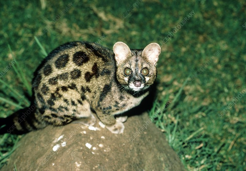 View of a large-spotted genet (Genetta tigrina)