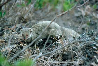 Indian Mongoose At Big Island Hawaii