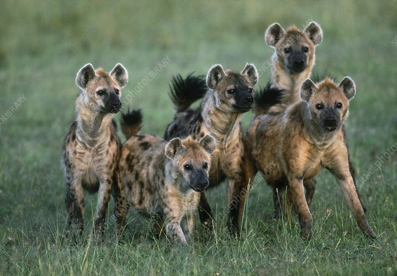 Spotted Hyena Pack