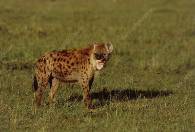 Spotted hyena (Crocuta crocuta) baring its teeth