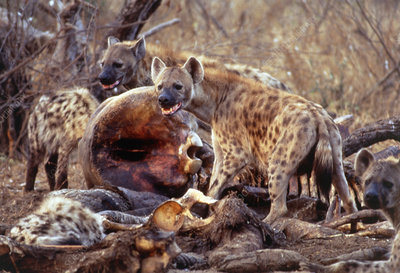 Spotted hyenas feeding