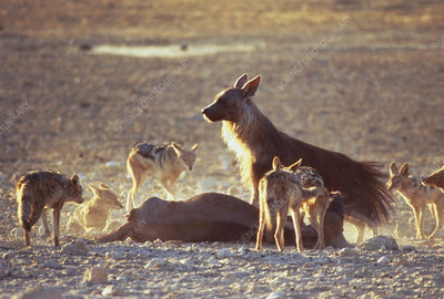 Brown hyena, jackals