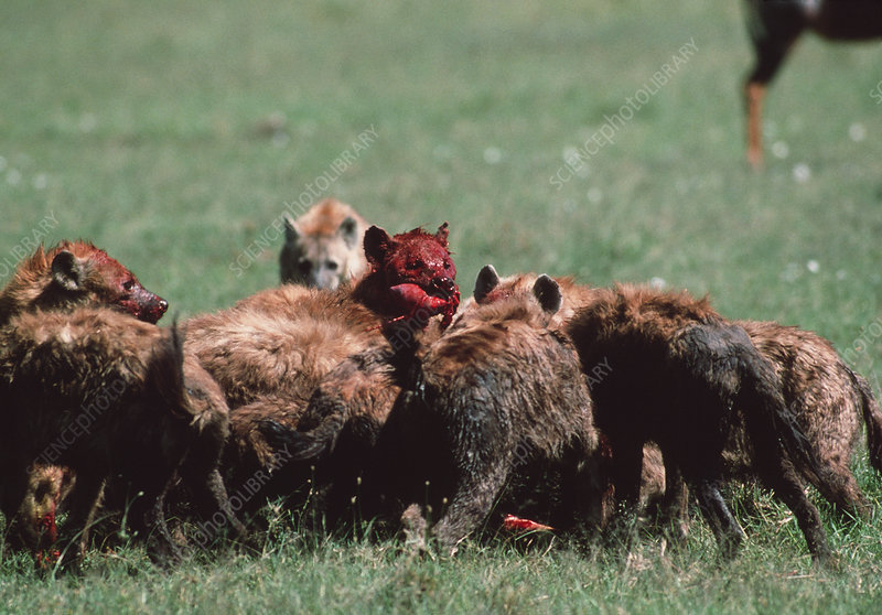 Spotted hyenas