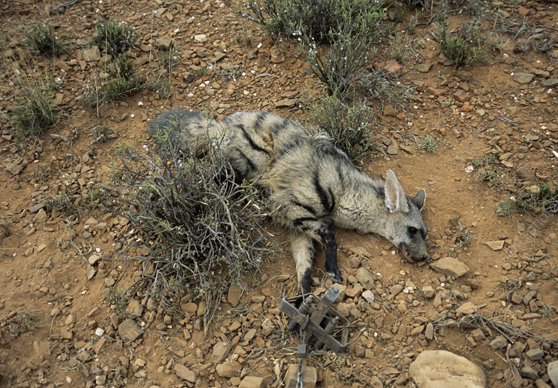 Aardwolf caught in a trap