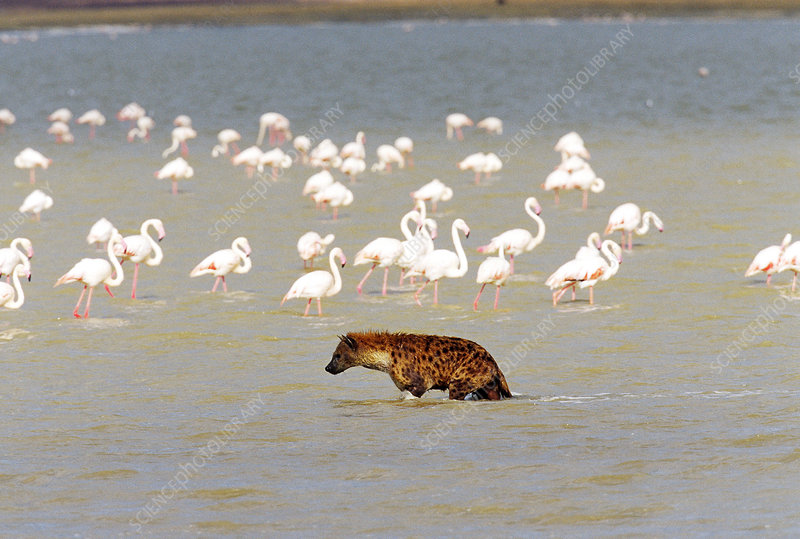 Spotted Hyena and flamingos