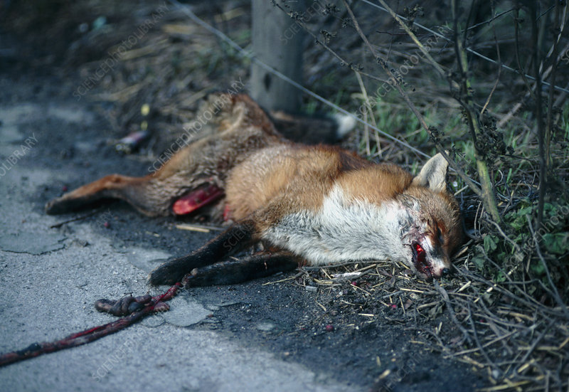 Urban fox killed by a passing car