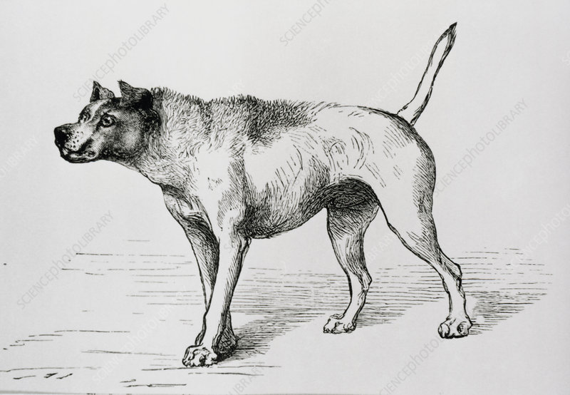 Engraving of an aggressive dog