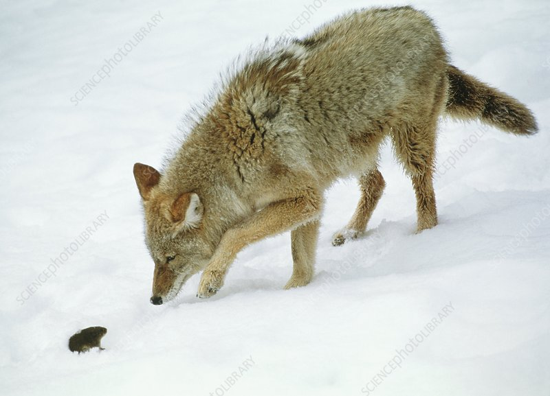 how to call call shy coyotes