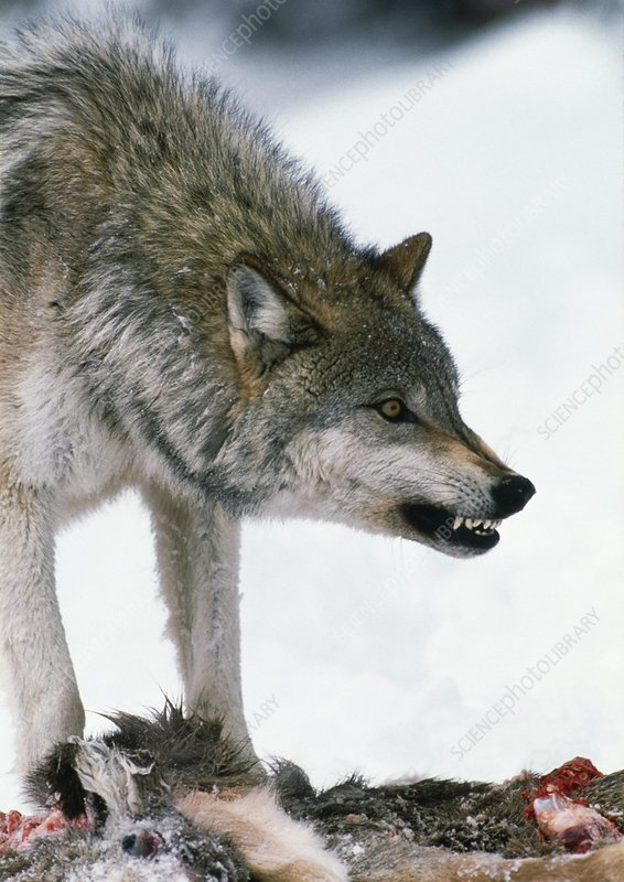 Grey wolf with a kill