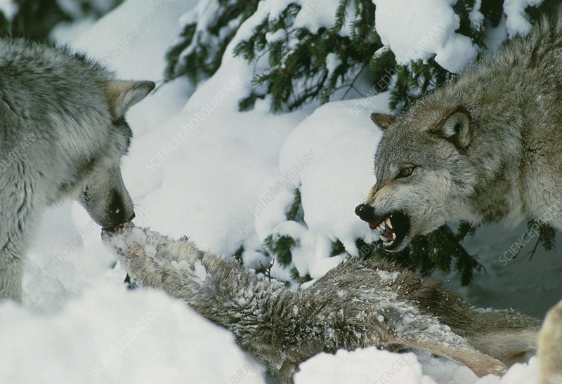 Grey wolves with a kill