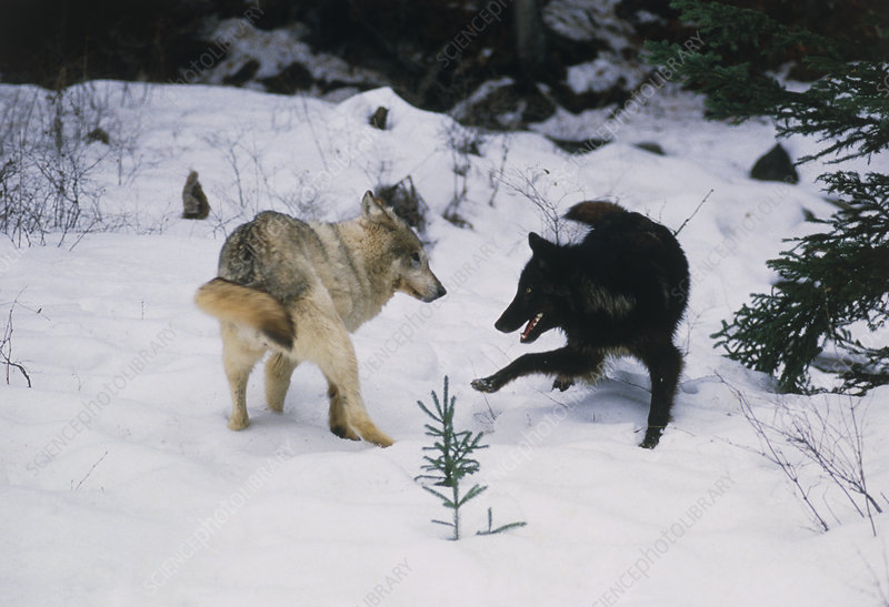 Grey wolves playing