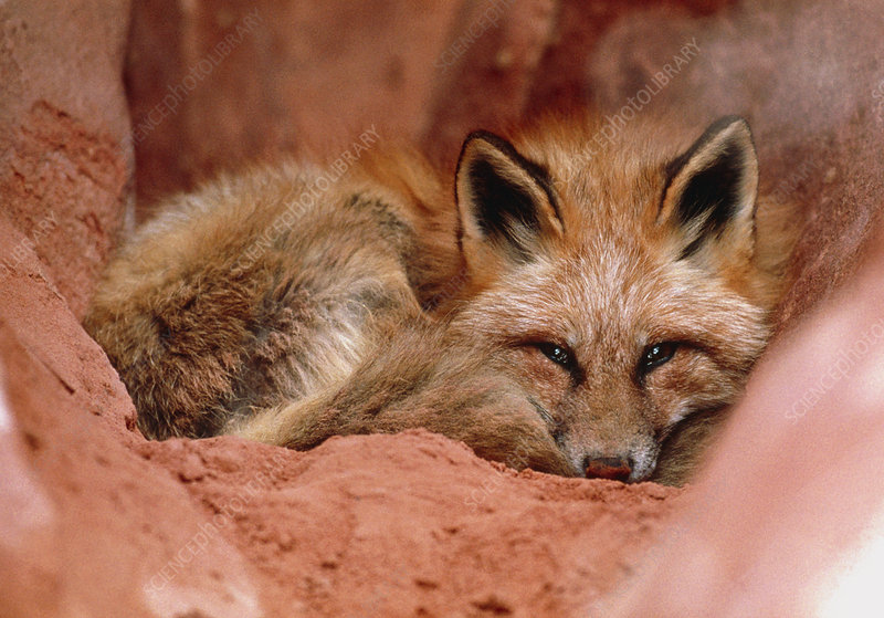 Western red fox, Vulpes vulpes macroura, at rest