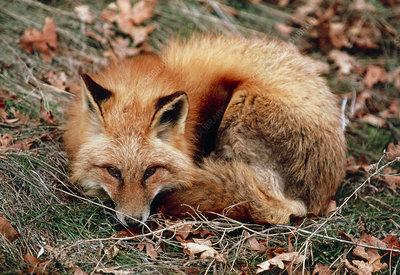 View of a western red fox, Vulpes vulpes macroura