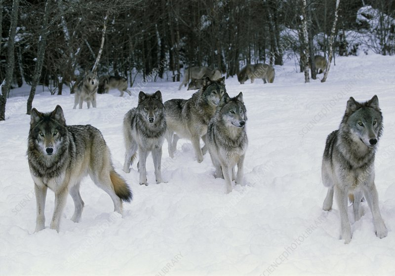 Pack of grey wolves (Canis lupus) in snow