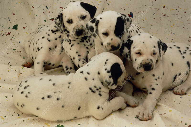 View of dalmatian puppies, Canis familiaris