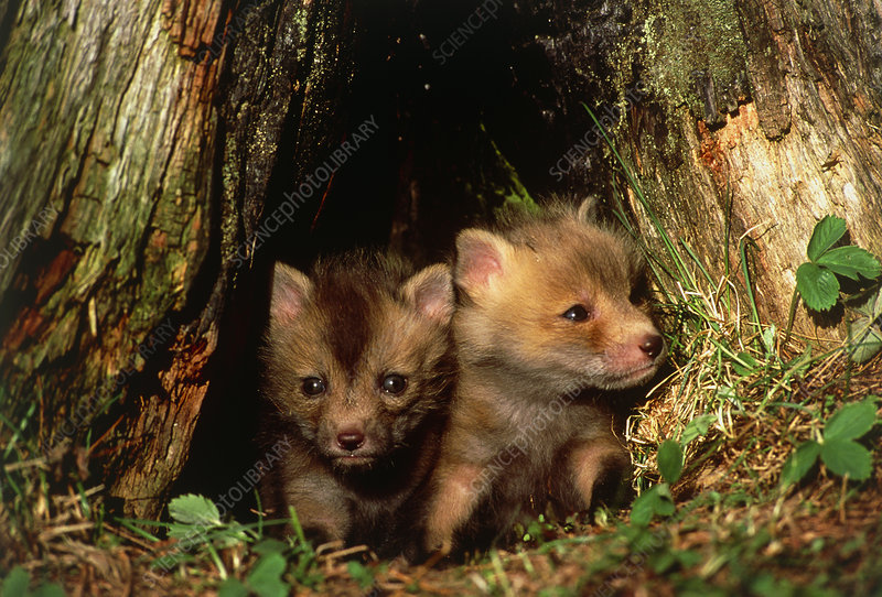 Red fox puppies (Vulpes vulpes) in their den