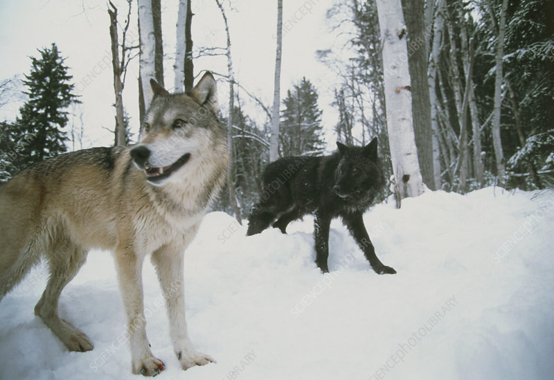Two grey wolves (Canis lupus) in snow