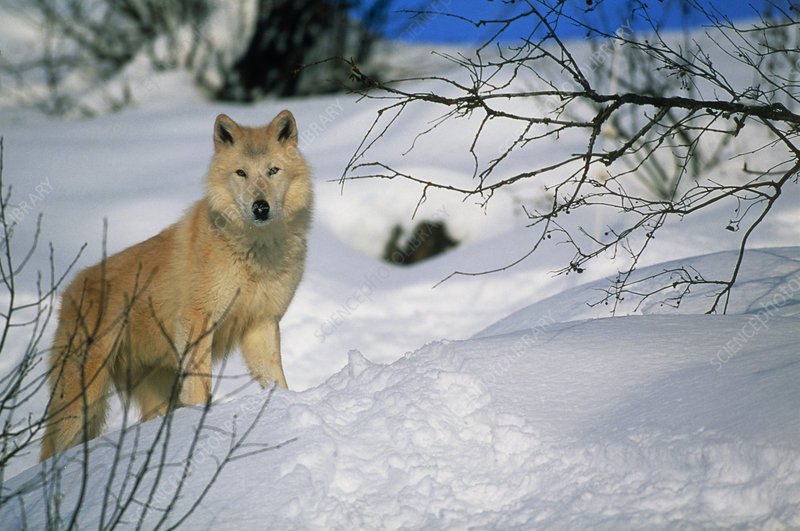Grey wolf (Canis lupus) in snow