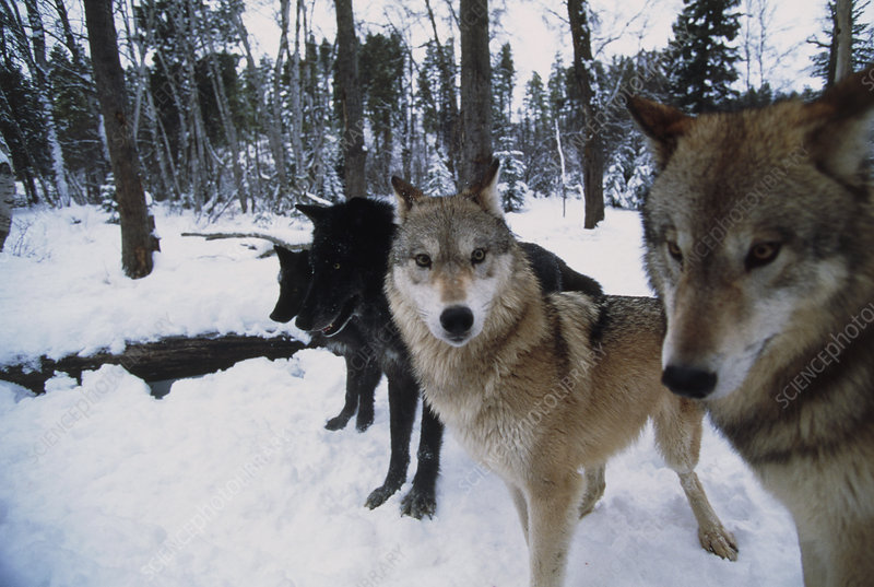 Four grey wolves (Canis lupus) in snow