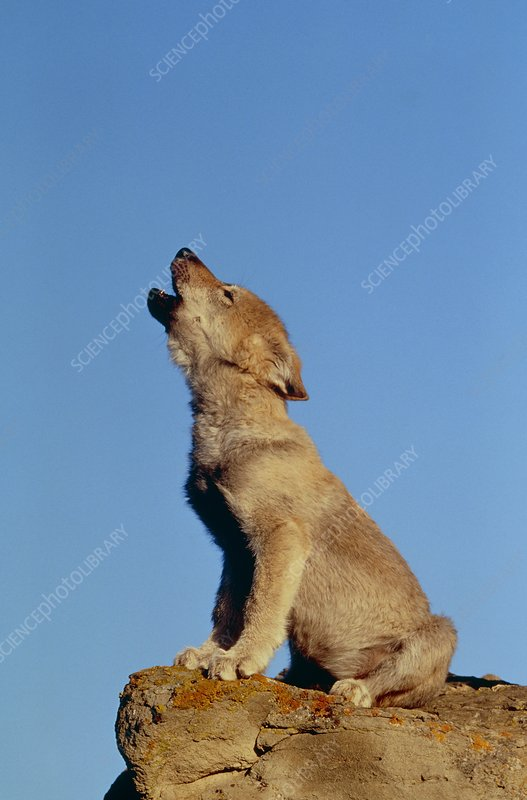 Three month old grey wolf (Canis lupus) howling