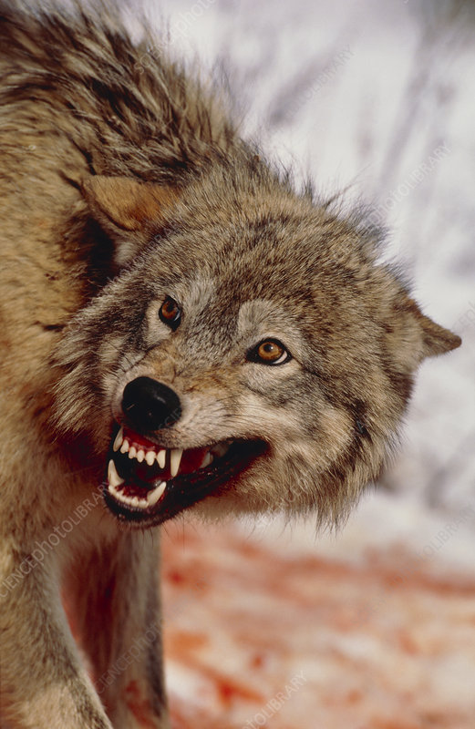 Grey wolf (Canis lupus) snarling while feeding