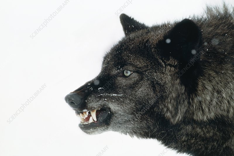 Head of a snarling grey wolf (Canis lupus)