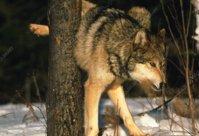Grey wolf urinating