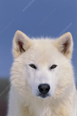 Grey wolf white-form