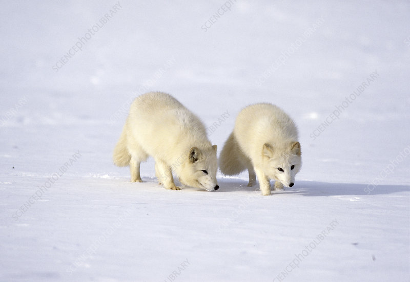 Pair of arctic foxes